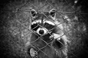 raccoon standing behind chain link fence