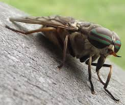 Image result for image female horse fly